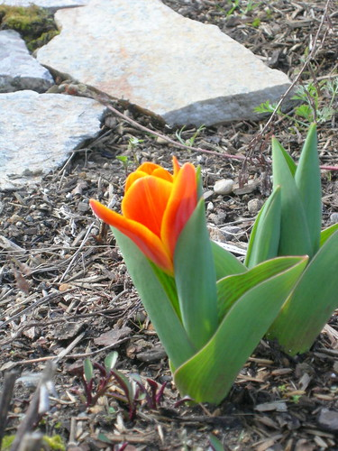 First tulip, March 2