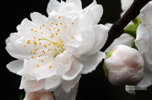 天元宮的美麗白桃花