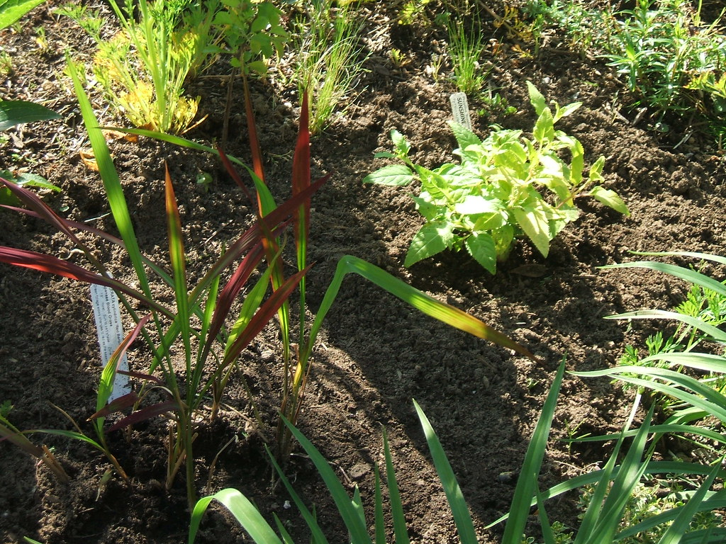 Japanese blood grass and golden Phygelius
