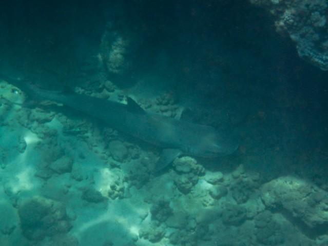 Honolua Shark