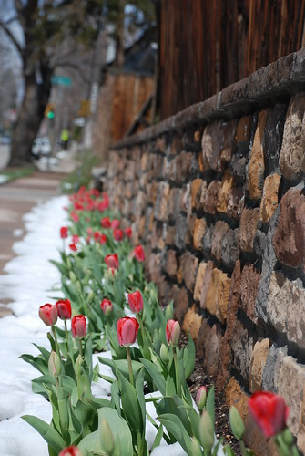 Strong Tulips on Brick