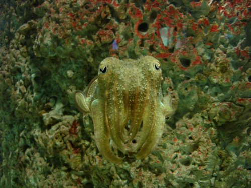 cuttlefish-2