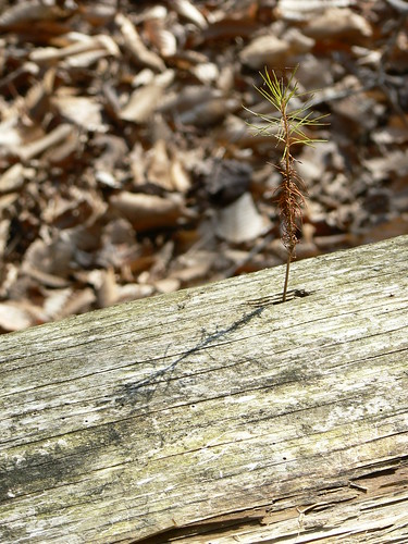Merchant's Millpond State Park - Baby Pine Grows Out of Hole