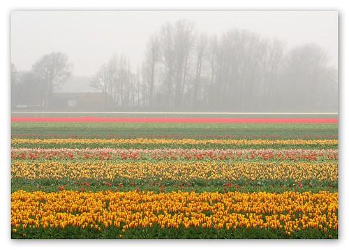 View of tulip fields from Keukenhof Garden by you.