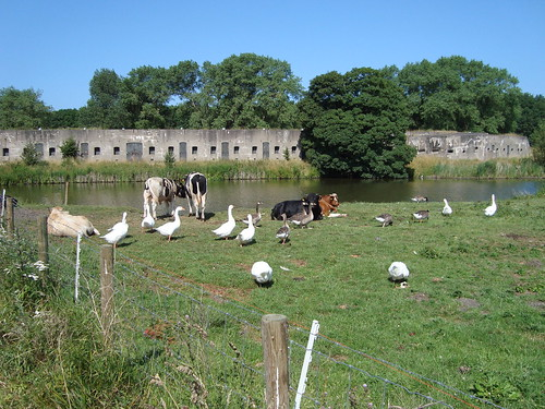 Geese and Cows with Bunker