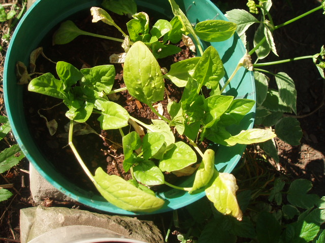 new spinach growth inside the old. I pulled off the yellow leaves after I took photos, lol.