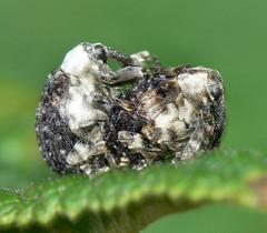 Weevils (Cionus scrophulariae)