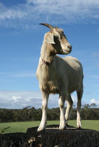 Goat-asura !!!