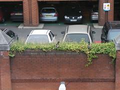 Ducks in a carpark, London