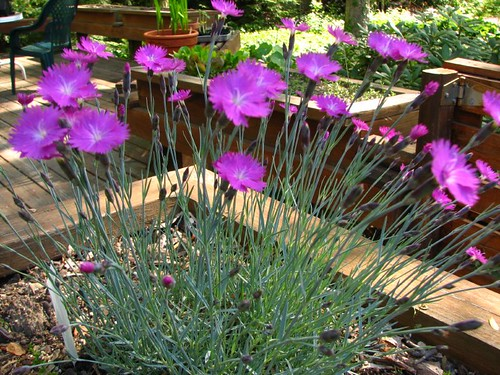 "Return of the dianthus pinks ""firewitch"""