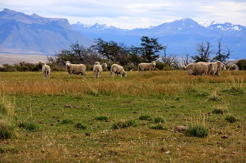 Sheep on Cerro Cazador (© 2009 clasticdetritus.com)