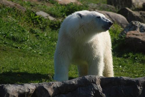 Eisbär Bill in der Zoom Erlebniswelt Gelsenkirchen