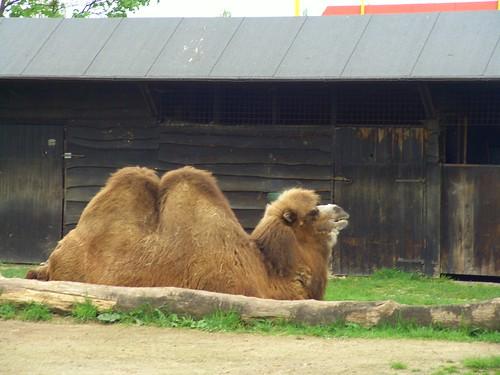 Lazy Camel