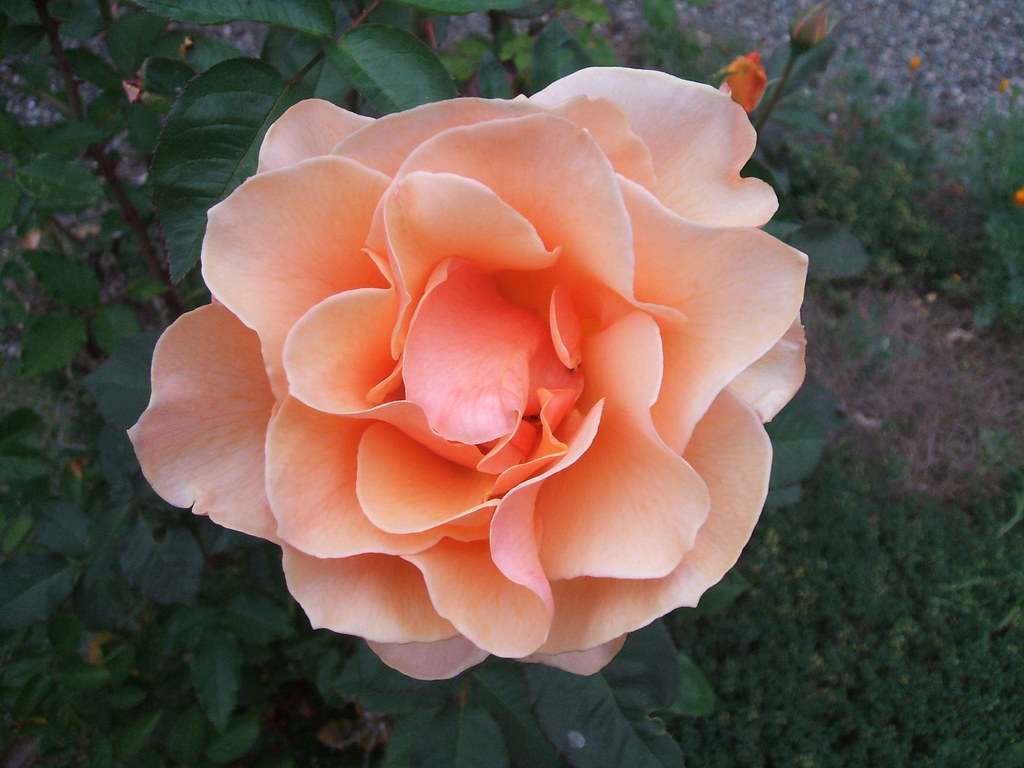 'Brandy' rose