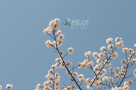 櫻花‧天空