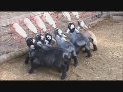 Happy Baby Miniature Goats