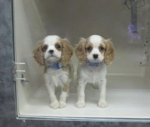 Cavalier King Charles Puppies at the Pet Store in Astoria 2