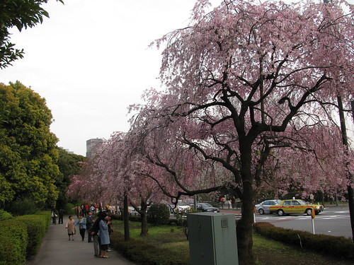 Sakura rosa carico di fiori ma in fase terminale