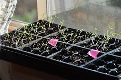 lesson #2 - too much heat + too little light = leggy seedlings