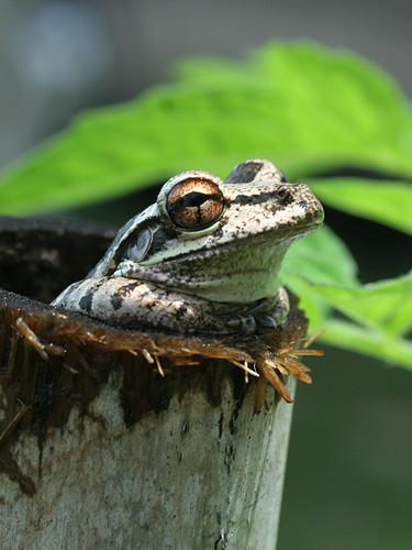 Cuban Tree Frog in Bamboo