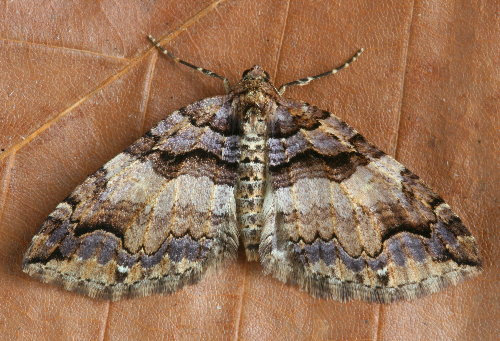 7329 - Anticlea vasiliata - Variable Carpet