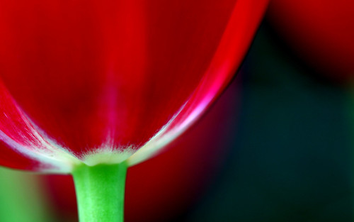 tulip by bruno