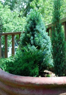 the estate of things chooses dwarf evergreens