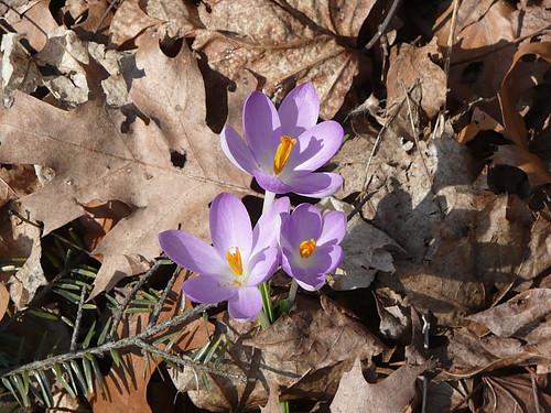 Finally, crocuses!