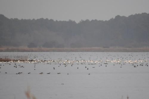 Many Waterfowl