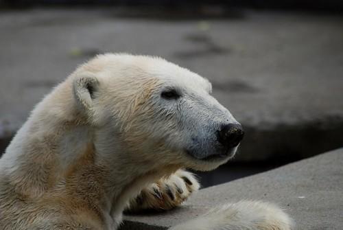 Eisbärin Vilma im Zoo Rostock