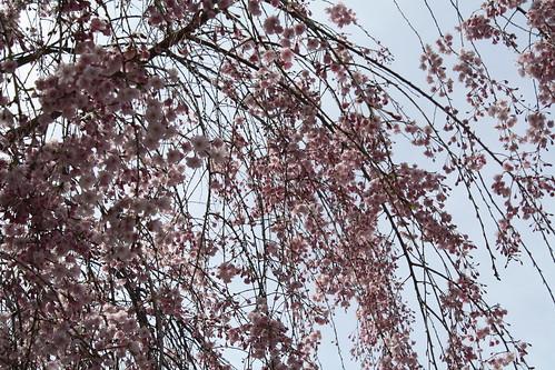 Sakura it to me