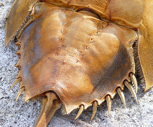 Horseshoe Crab Shell