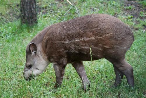 Junges Tapir im Zoo Riga
