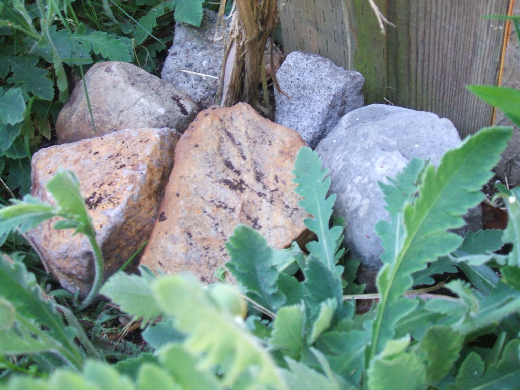"""Rockpile on clematis """"feet"""" to cool it off"""