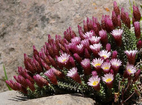 Helichrysum retortoides #2