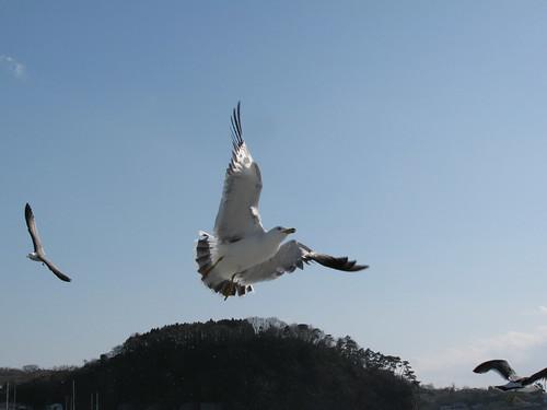 Gabbiano si dice 鴨の [kamono]