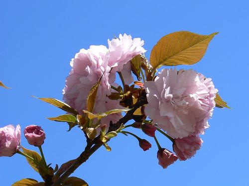 Hertford Tree Memorial - Pink Bloom and Sky