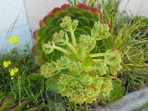 Horny Succulents on 420  23