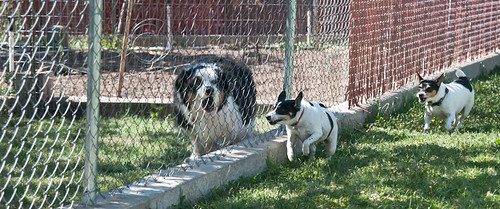 Dogs Fencing 4