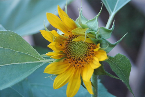 Gray Mammoth Sunflowers
