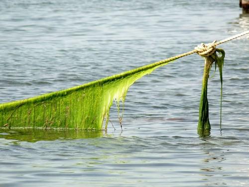 Seaweed, Belize