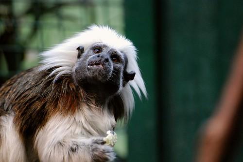Lisztäffchen im Zoo Tallinn