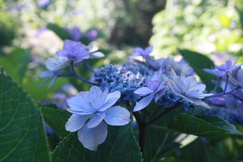 Hydrangea in Hisai
