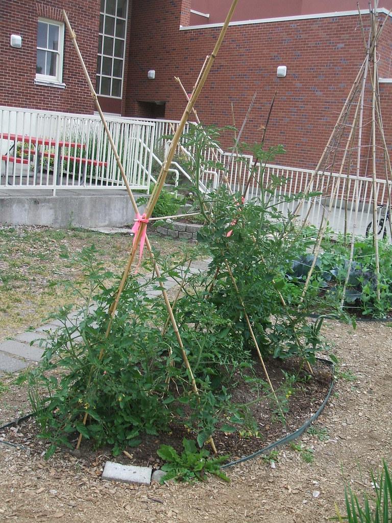 School garden tomato trellis
