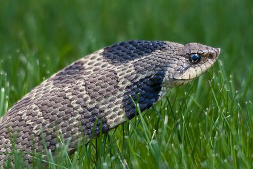 Eastern Hog Nose Snake 2