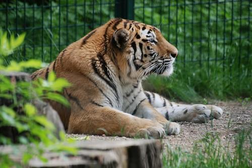 Sibirischer Tiger Migris  im Zoo Kaunas