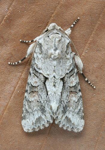 10518 - Achatia distincta - Distinct Quaker