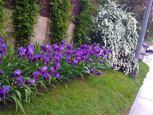 Day Program Irises 2_0308