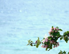 Cherry Blossoms and Lake Huron