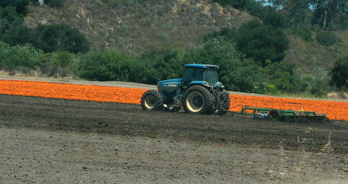 Tractor in a marigold field.